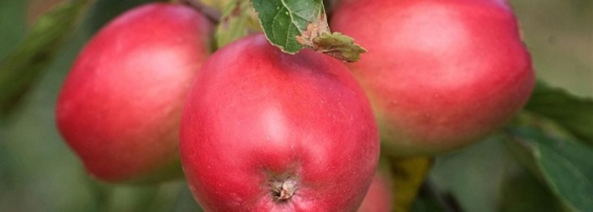 Miniferie på Norsminde Kro: Æblehøsten er i hus - brasseriet laver unik æblemenu