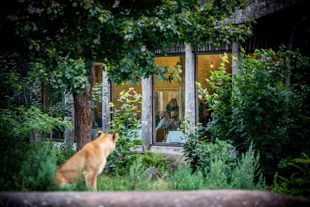 Kun 50 minutter fra Aarhus: 5-retters gourmet i selskab med løveflok