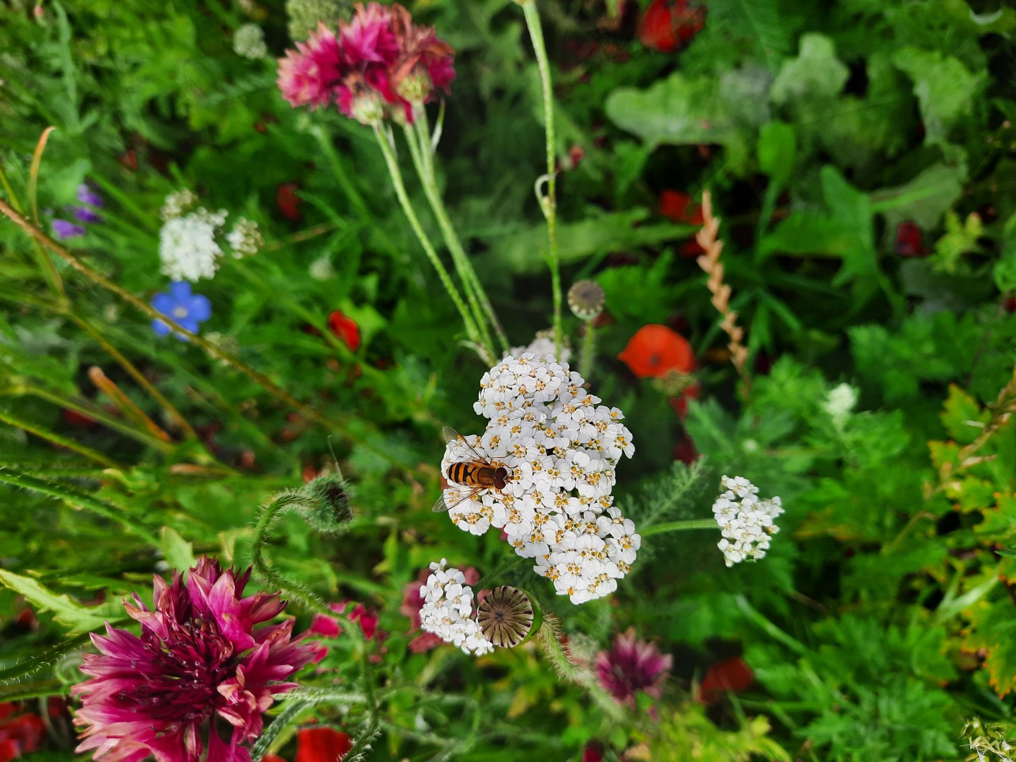 Gentager succes: Aarhus Kommune uddeler blomsterfrø