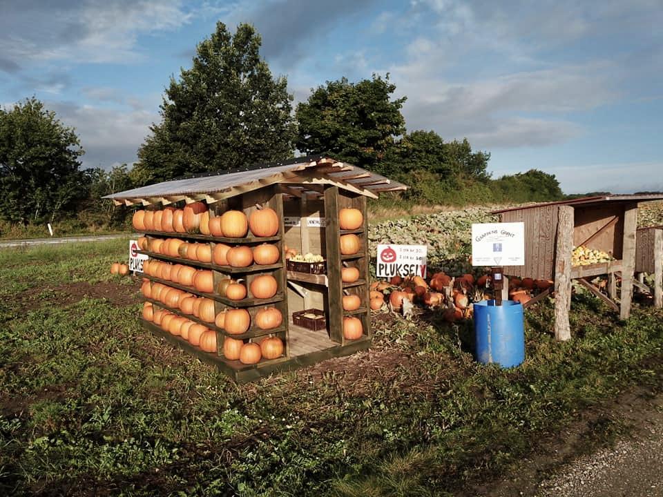 Tag på græskarjagt: Pluk selv-græskarmark kun 40 minutter fra Aarhus